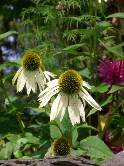 Coneflower seeds will be winter feed for the birds