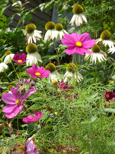 Cosmos and Coneflowers grace the Galowitz's autumn garden