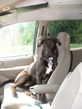 """Naughty puppy """"Diva"""" is ready to take another bite out of the armrest"""