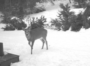 The wounded doe comes to nourish herself in the Galowitz garden