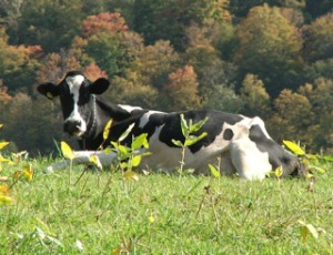 A cow at the Morse farm enjoys the autumn weather