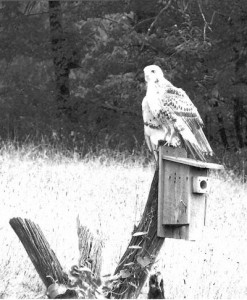 """Pictured is a very light colored red tail hawk perched on one of Jack McShane's blue bird boxes. Remember """"Pale Male"""" of 5th Ave. Manhattan notoriety? Could there be a relationship? The title of this picture should be: """"Where have all the bluebirds gone?"""" Just to let you know, this box housed a bluebird pair that successfully fledged four young earlier in the season and all were safely long gone when Pale Male junior arrived."""