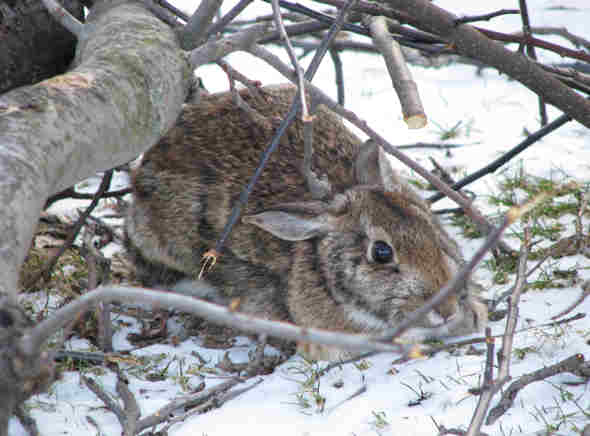 Bucky the Cottontail relaxes amidst the apple tree prunings
