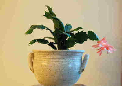 Phyllis's Christmas Cactus with its very first bloom