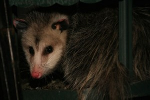 Possum visiting a bird feeder  (Photo by Roger Bobley)