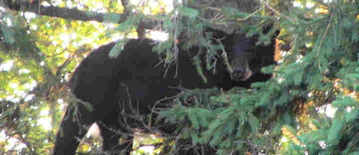 LEARN MORE ABOUT OUR NEIGHBOR THE BLACK  BEAR