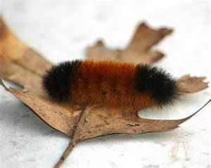 WOOLLY BEAR CATERPILLAR: FACT AND LORE