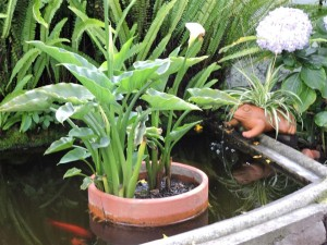 cala-lily-in-pots-in-water (Medium)