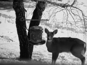 Deer at Feeder