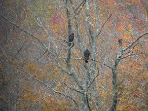 photo satiated turkey vultures (1)