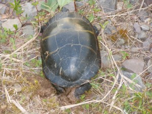 Painted turtle dropping her eggs