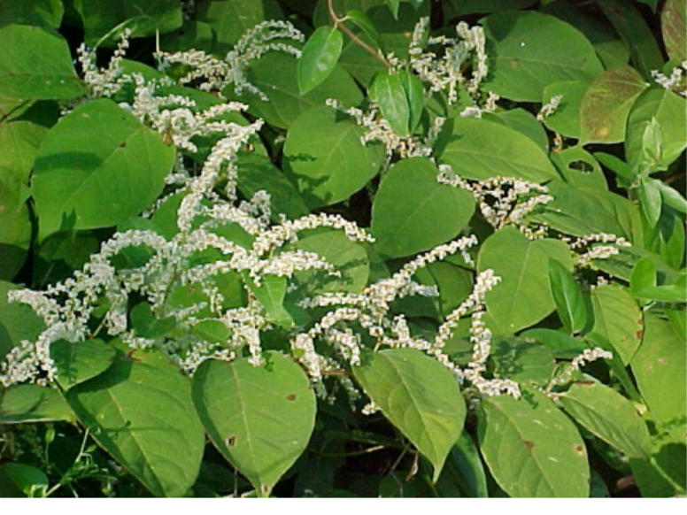 TOWN BOARD SAYS NO TO KNOTWEED! - October 2016