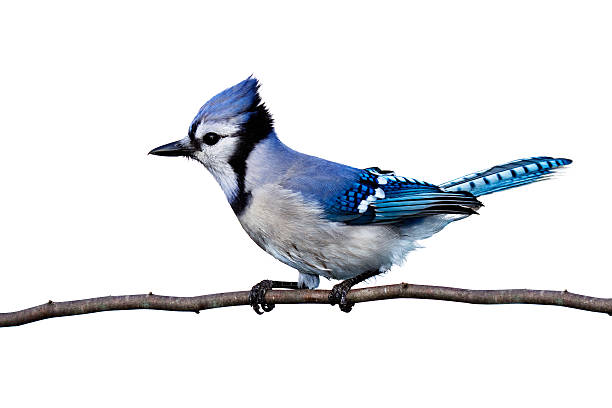 full horizontal view of bluejay perched on a branch isolated on a white background